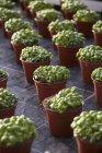 Vista elevada de hileras de macetas de plantas de albahaca - foto de stock