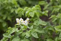 Flowering potato plants in a field outdoors — Stock Photo