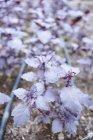 Rubin basilico che cresce in giardino — Foto stock