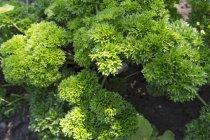 Prezzemolo cresce nel giardino — Foto stock