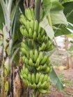 Bananas crescendo na planta — Fotografia de Stock