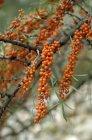 Bagas de espinheiro crescendo em bush — Fotografia de Stock