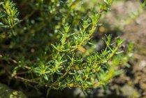 Rosemary, qui poussent dans le jardin — Photo de stock