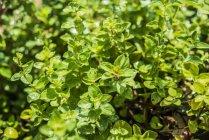 Oregano wächst im Garten — Stockfoto