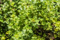 Orégano, crescendo no jardim — Fotografia de Stock