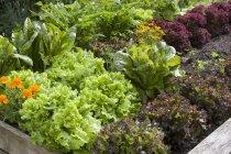 Бархатцы с красного и зеленого салата — стоковое фото
