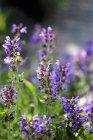 Vista de cerca de las plantas de salvia de floración - foto de stock