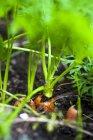 Cenouras frescas no patch — Fotografia de Stock