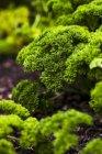 Vista del primo piano delle piante di prezzemolo verde fresco — Foto stock