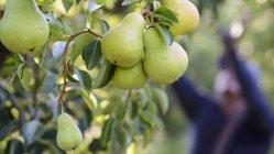 Pere che crescono sull'albero — Foto stock