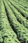 A large field of kale outdoors during daytime — Stock Photo