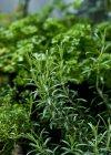 Rosmarino che cresce nel giardino — Foto stock