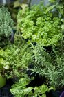 Elevated view of various fresh potted herbs — Stock Photo