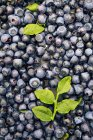 Fresh ripe blueberries with leaves — Stock Photo