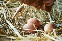 Appena deposte le uova biologiche — Foto stock
