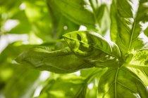 Базилик, растущего в саду — стоковое фото