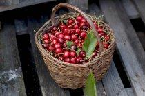 Panier de cerises cueillies fraîches — Photo de stock