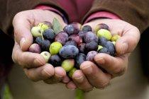 Руки со свежесобранными оливками, в середине — стоковое фото