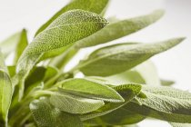 Foglie di salvia fresche — Foto stock