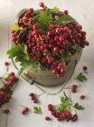 Свежие ягоды боярышника — стоковое фото