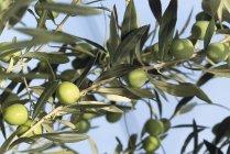 Aceitunas en la rama al aire libre durante el día - foto de stock