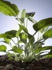 Sábio plantado no solo — Fotografia de Stock