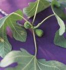 Vue de branche de figuier avec des figues et des feuilles — Photo de stock