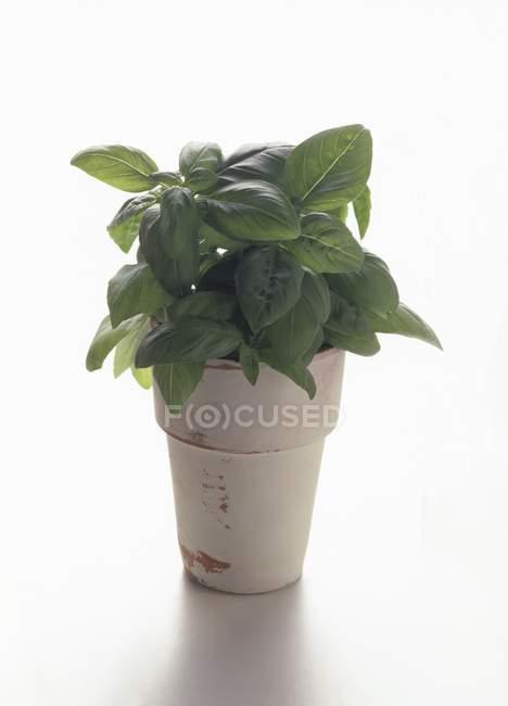 Potted fresh Basil — Stock Photo