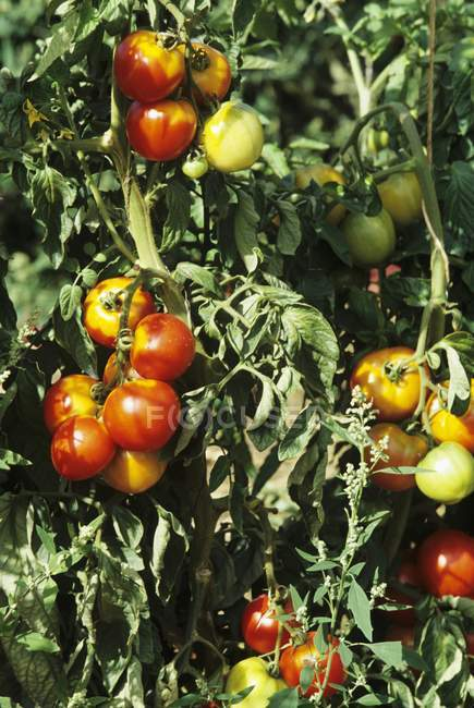 Fresh Tomatoes on Plant — Stock Photo