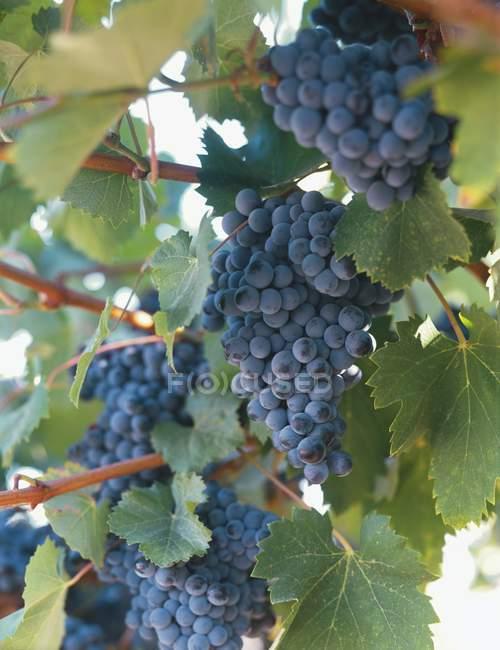 Rotwein schwarzen Trauben — Stockfoto