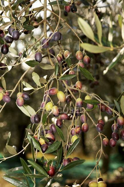 Olives growing on tree — Stock Photo