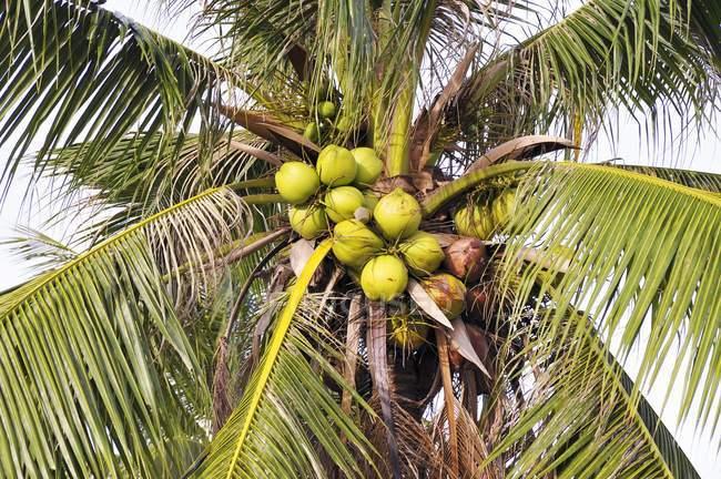 Vista diurna de un cocotero con racimo de cocos - foto de stock
