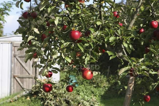 Pommier aux pommes rouges — Photo de stock
