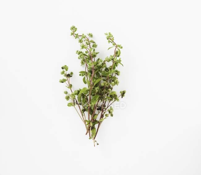 Свежие веточки майорана — стоковое фото