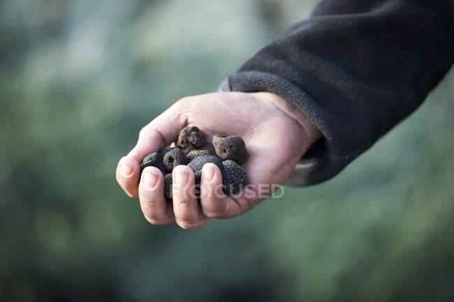 Tenant des truffes noires — Photo de stock