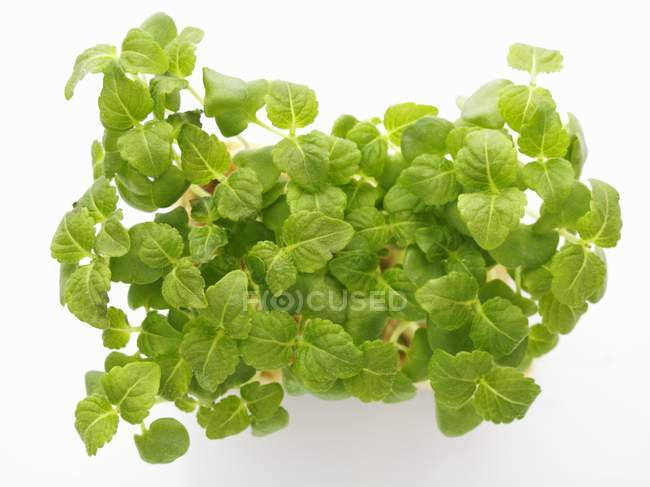 Frais cress Shiso — Photo de stock