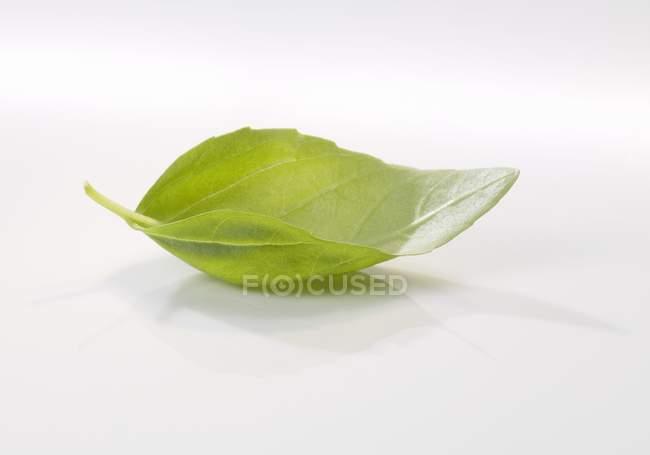 Свежий лист базилика — стоковое фото