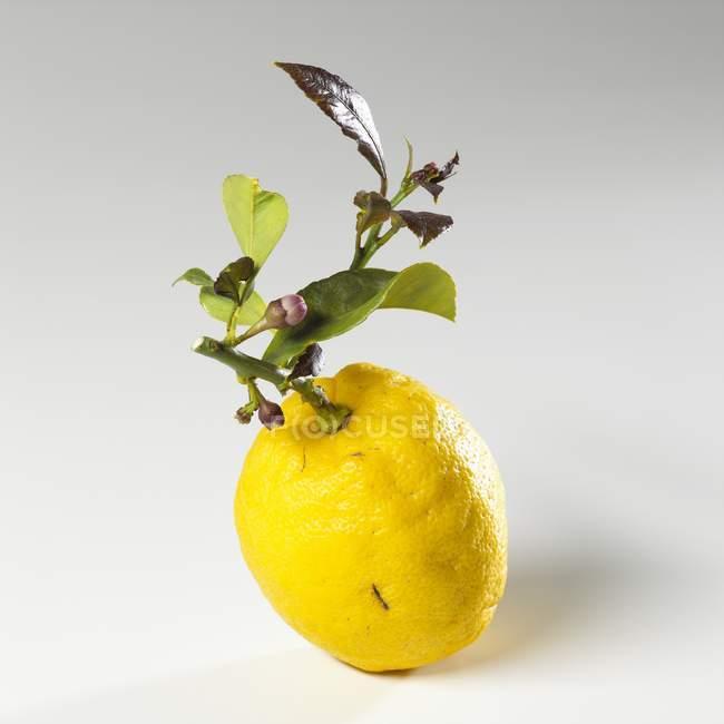 Zitrone mit Zweig und Blättern — Stockfoto