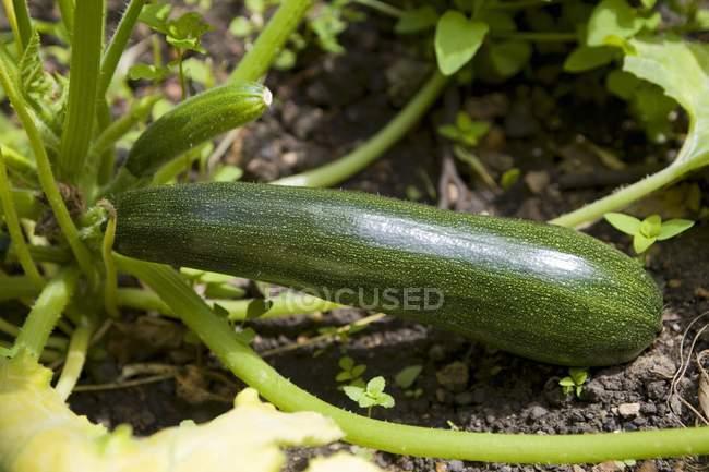 Цукини, растущих в овощной сад — стоковое фото
