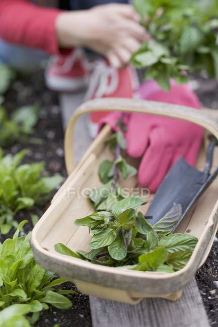 Fresh mint and garden utensils — Stock Photo