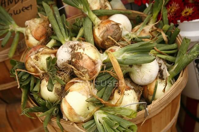 Oignons de sucre biologique — Photo de stock