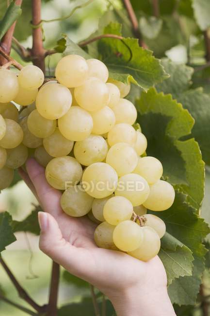 Female hand showing green grapes — Stock Photo