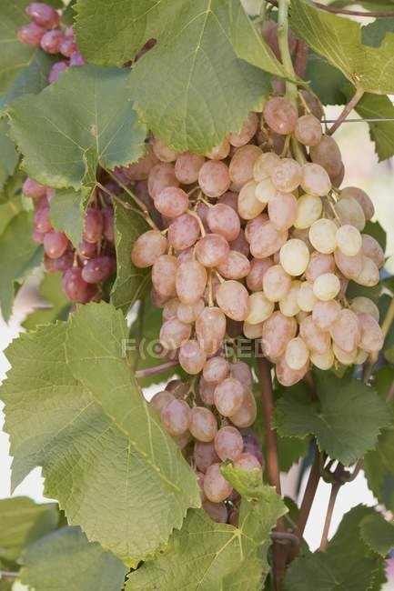 Rose wine grapes — Stock Photo
