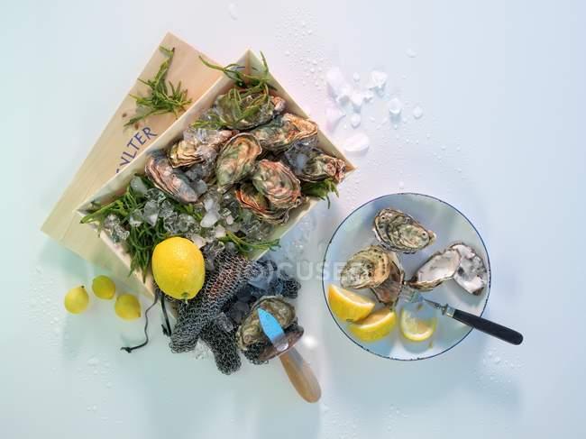 Sylt ostras com limões — Fotografia de Stock