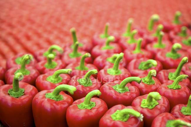 Red bell peppers whole — Stock Photo