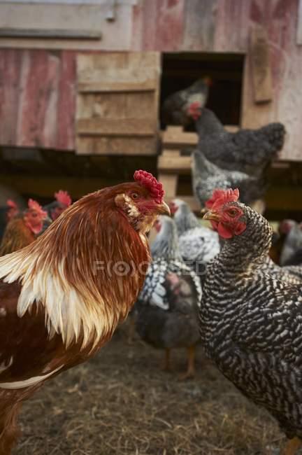 Primo piano ritagliata vista del Gallo e galline dal pollaio — Foto stock