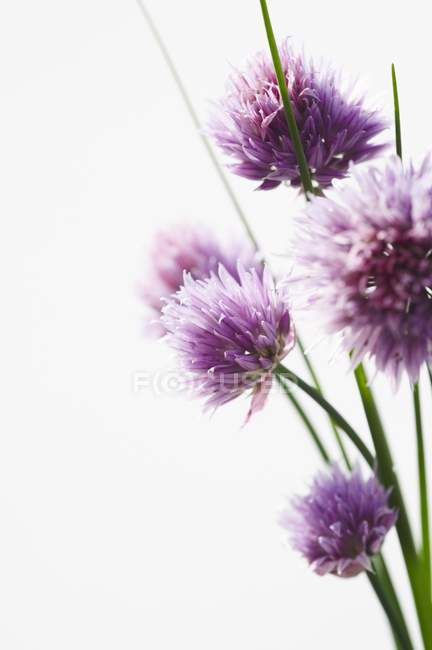 Closeup view of Chive flowers on white background — Stock Photo