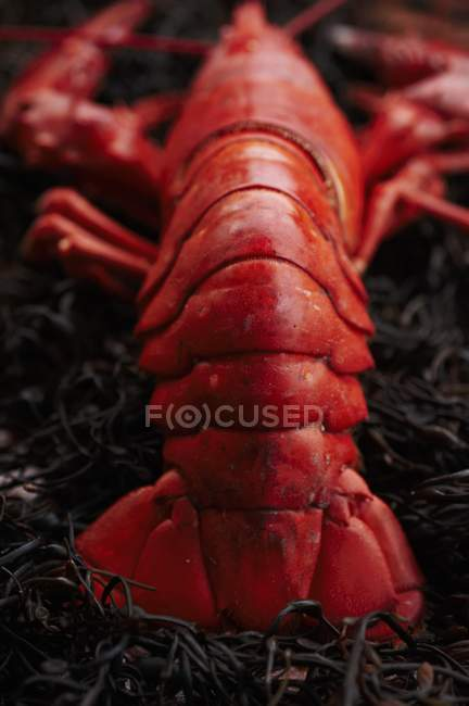 Ganz gedünsteter Lobster — Stockfoto