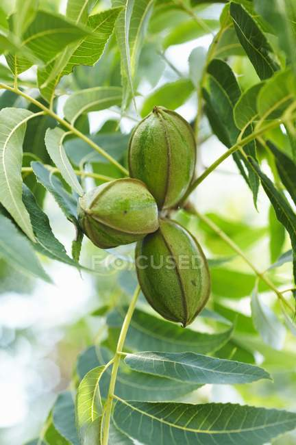 Closeup view of pecan nuts growing on the tree — Stock Photo