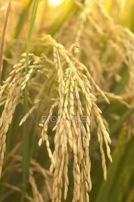 Reiskörner auf Pflanzen — Stockfoto